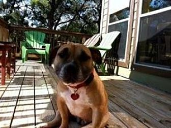 English Bulldog/Boxer Mix Dog for adoption in Austin, Texas - Amber