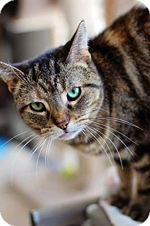 Domestic Shorthair Cat for adoption in Markham, Ontario - Brownie