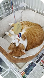 Domestic Shorthair Cat for adoption in Danville, Indiana - Tank