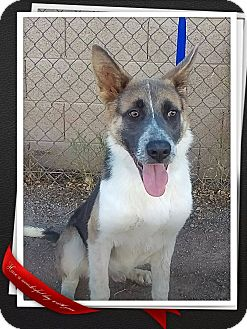 Australian Shepherd/German Shepherd Dog Mix Dog for adoption in Apache Junction, Arizona - Fonzie