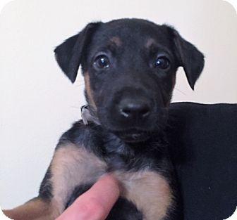 Belgian Malinois Mix Puppy for adoption in Ft. Lauderdale, Florida - Makayla