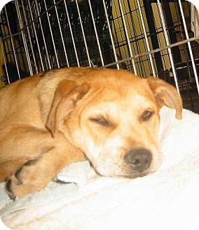 Catahoula Leopard Dog/Labrador Retriever Mix Puppy for adoption in Melrose, Florida - Ellie May