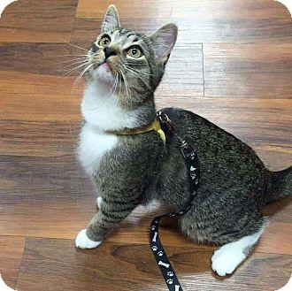 Domestic Shorthair Cat for adoption in Freeport, New York - Rocket