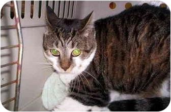 Domestic Shorthair Cat for adoption in Raeford, North Carolina - ANNIE