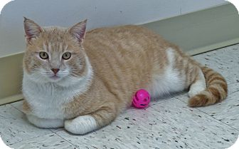 Domestic Shorthair Cat for adoption in Chambersburg, Pennsylvania - Epperson