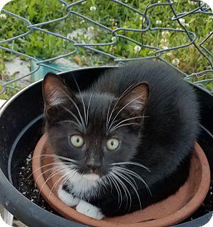 Domestic Shorthair Kitten for adoption in Mount Pleasant, South Carolina - K3