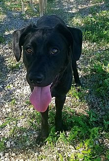 Labrador Retriever Mix Dog for adoption in Chattanooga, Tennessee - BOJANGLES