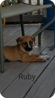 Labrador Retriever/Australian Cattle Dog Mix Puppy for adoption in Wichita Falls, Texas - Ruby