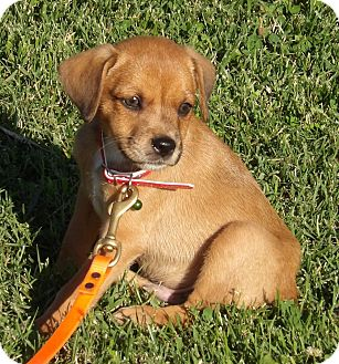 Dachshund/Spitz (Unknown Type, Small) Mix Puppy for adoption in Williamsport, Maryland - Roscoe (4 lb) Video