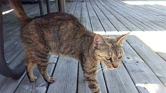 Domestic Shorthair Cat for adoption in Newaygo, Michigan - Paulette