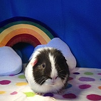 Guinea Pig for adoption in Trenton, North Carolina - G Force