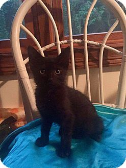 Domestic Shorthair Kitten for adoption in Indianapolis, Indiana - Leonard