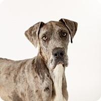 Adopt A Pet :: Shorty - McKinney, TX