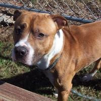 Adopt A Pet :: Kirk - Anderson, SC