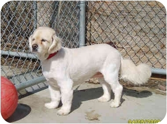 Cocker Spaniel Mix Dog for adoption in Austin, Minnesota - Blondie