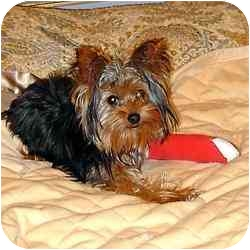 Yorkie, Yorkshire Terrier Mix Puppy for adoption in Tallahassee, Florida - Lilli