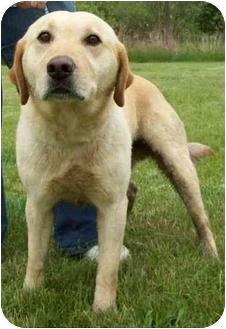 Labrador Retriever Mix Dog for adoption in North Judson, Indiana - Blade
