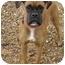 Photo 2 - Boxer Dog for adoption in Owensboro, Kentucky - Joy