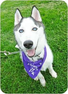 Husky Puppy for adoption in Detroit, Michigan - Leo