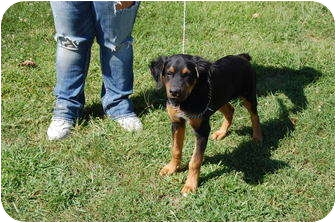 Setter (Unknown Type)/Doberman Pinscher Mix Puppy for adoption in North Judson, Indiana - Mo