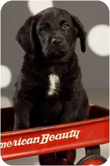Labrador Retriever/Plott Hound Mix Puppy for adoption in Portland, Oregon - Homer