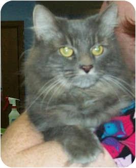 Domestic Longhair Cat for adoption in Murphysboro, Illinois - Kami
