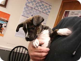 Boxer Mix Puppy for adoption in Fort Scott, Kansas - Rocky
