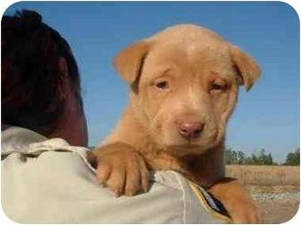 Labrador Retriever/Chesapeake Bay Retriever Mix Puppy for adoption in Wilmington, North Carolina - Puppies