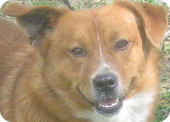 Corgi Mix Dog for adoption in Hillsboro, Ohio - Spike