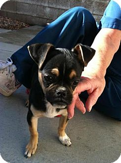 Pug/Chihuahua Mix Puppy for adoption in Las Vegas, Nevada - Clair