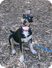 Greater Swiss Mountain Dog/Retriever (Unknown Type) Mix Dog for adoption in Sonoma, California - Stella