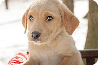 Labrador Retriever Mix Puppy for adoption in Salem, Massachusetts - Barbie