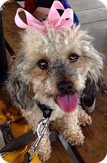 Poodle (Miniature) Mix Dog for adoption in Charlotte, North Carolina - Pebbles