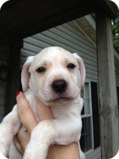 Labrador Retriever/Cattle Dog Mix Puppy for adoption in East Hartford, Connecticut - Rocky-pending adoption