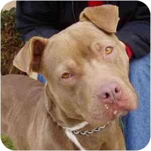 American Pit Bull Terrier Mix Dog for adoption in Berkeley, California - Bebe