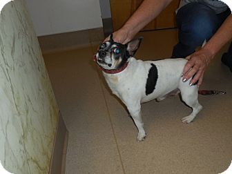 Chihuahua/Boston Terrier Mix Dog for adoption in Kendall, New York - The General