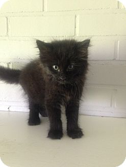 Domestic Mediumhair Kitten for adoption in South Windsor, Connecticut - Elmo