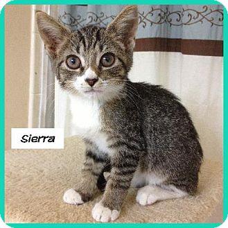 Domestic Shorthair Cat for adoption in Miami, Florida - Sierra