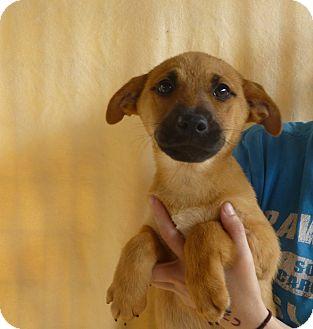 German Shepherd Dog/Labrador Retriever Mix Puppy for adoption in Oviedo, Florida - Ash