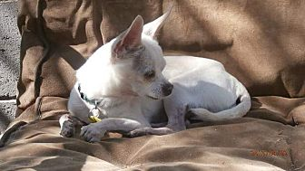 Chihuahua Dog for adoption in Tucson, Arizona - Chico