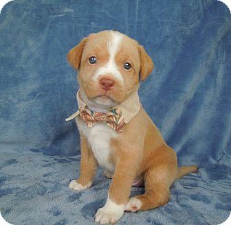 Anatolian Shepherd/Australian Cattle Dog Mix Puppy for adoption in Charlotte, North Carolina - Rusty