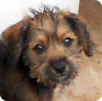 Yorkie, Yorkshire Terrier/Jack Russell Terrier Mix Puppy for adoption in Oakley, California - Baby Stokesly