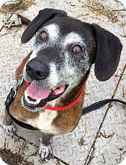 Shepherd (Unknown Type)/Labrador Retriever Mix Dog for adoption in Ft Myers Beach, Florida - Senior pet in Kill Shelter!