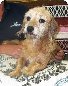 Terrier (Unknown Type, Small) Mix Dog for adoption in Eastpoint, Florida - Percy