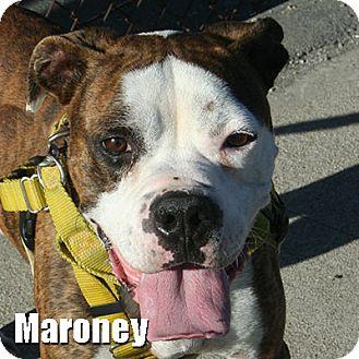 Boxer Dog for adoption in Encino, California - Maroney