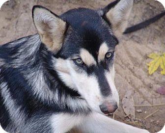 Siberian Husky Dog for adoption in Memphis, Tennessee - SoHo ~ Update 12/16/2009