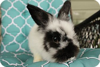 Jersey Wooly Mix for adoption in Hillside, New Jersey - Scamp