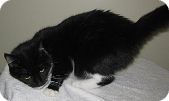 Domestic Shorthair Cat for adoption in Gary, Indiana - Bonnie