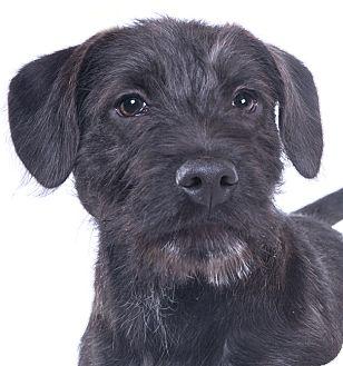Schnauzer (Miniature)/Labrador Retriever Mix Puppy for adoption in Chicago, Illinois - Billy
