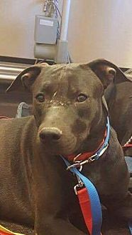Labrador Retriever/Staffordshire Bull Terrier Mix Puppy for adoption in Austin, Texas - Rocky
